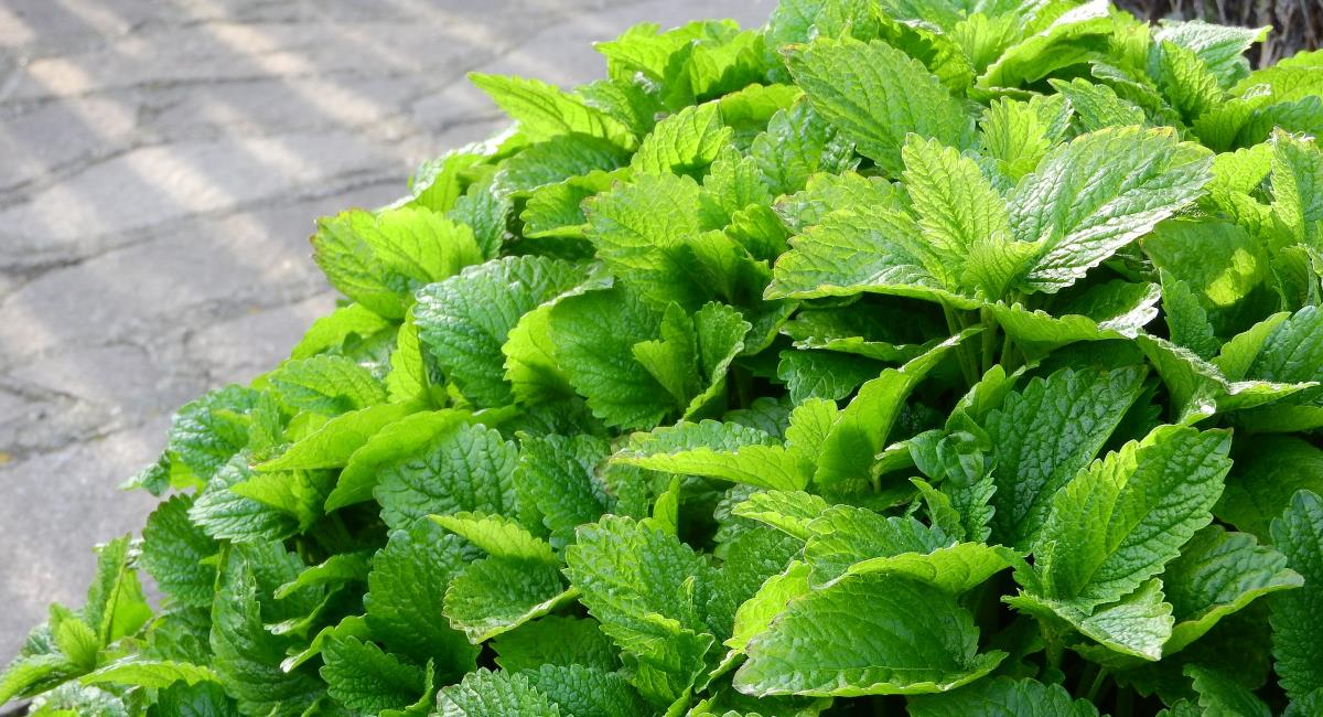 The Greek herb - Lemon Balm