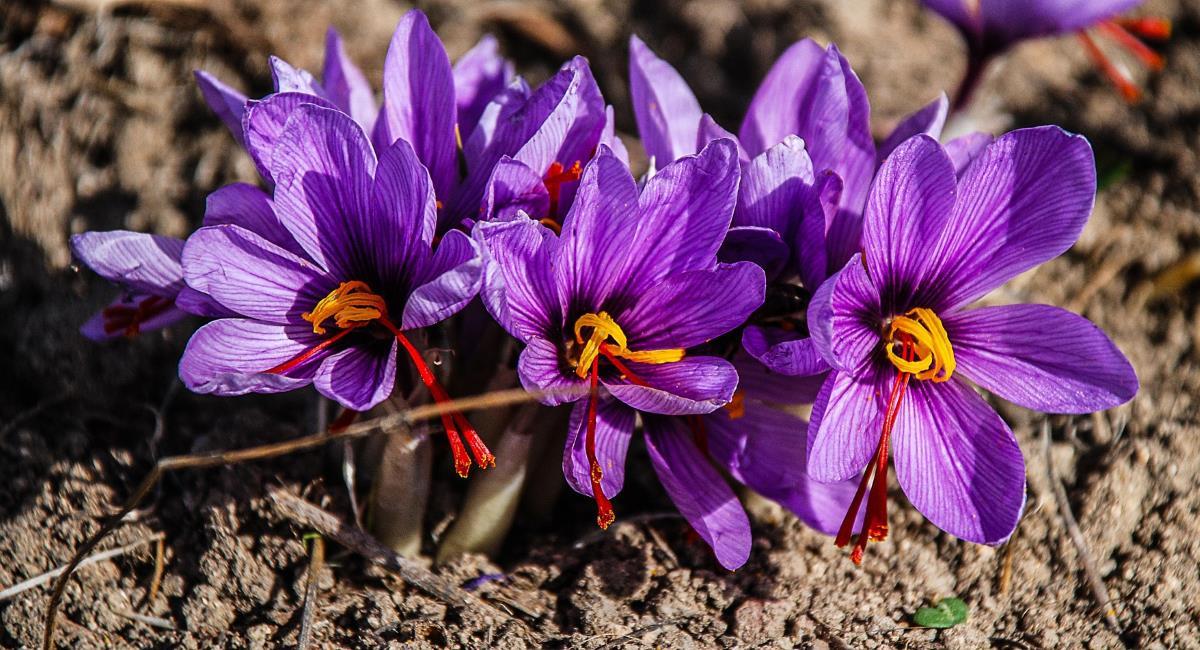 Σαφράν: Ελιξήριο ομορφιάς και μακροζωίας