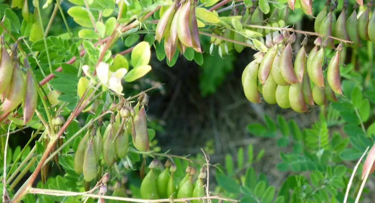 Αστράγαλος ο μεμβρανώδης (astragalus membranaceus) – Ιδιότητες.