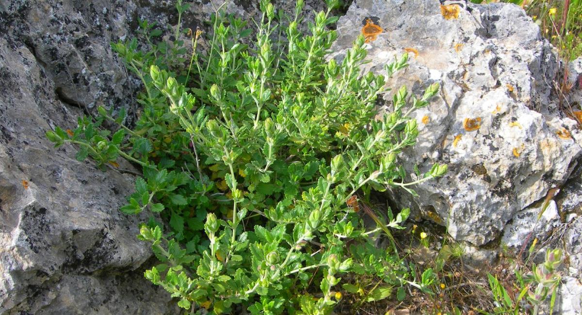 Λαγοκοιμηθιά, ένα ευεργετικό βότανο για όλους!