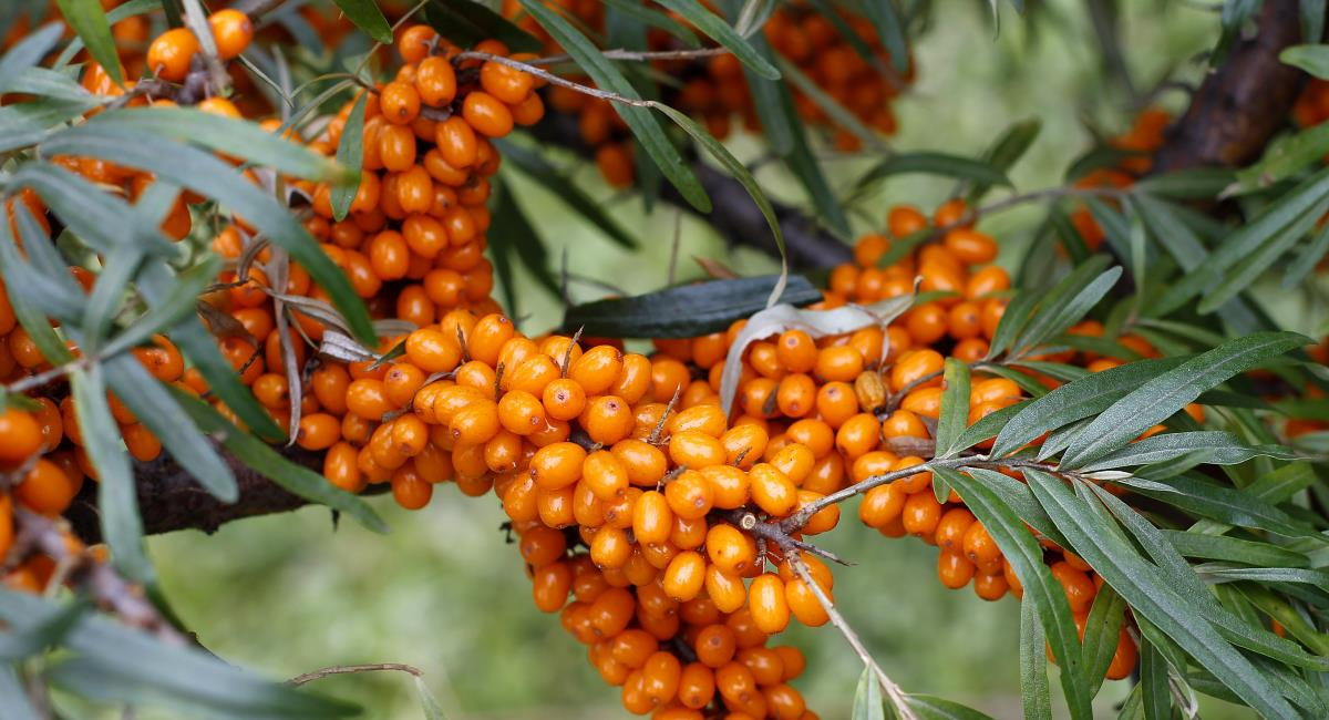 The Greek herb Hippophae (Sea Buckthorn)