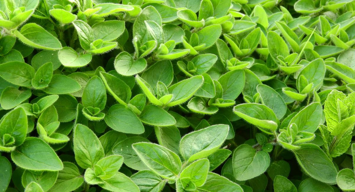 Ρόφημα με μαντζουράνα, ένα από τα σπουδαιότερα βότανα!